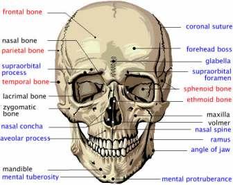 cranium_front