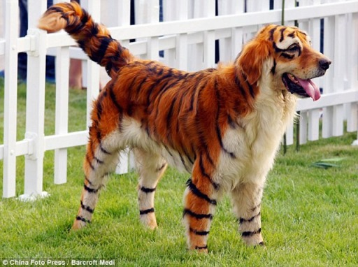 tiger_dog